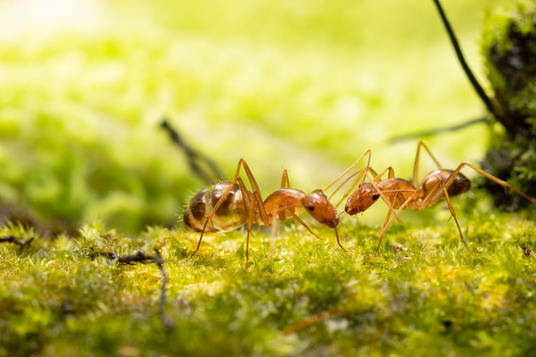 Anoplolepis gracilipes, yellow crazy ants, on moss plant