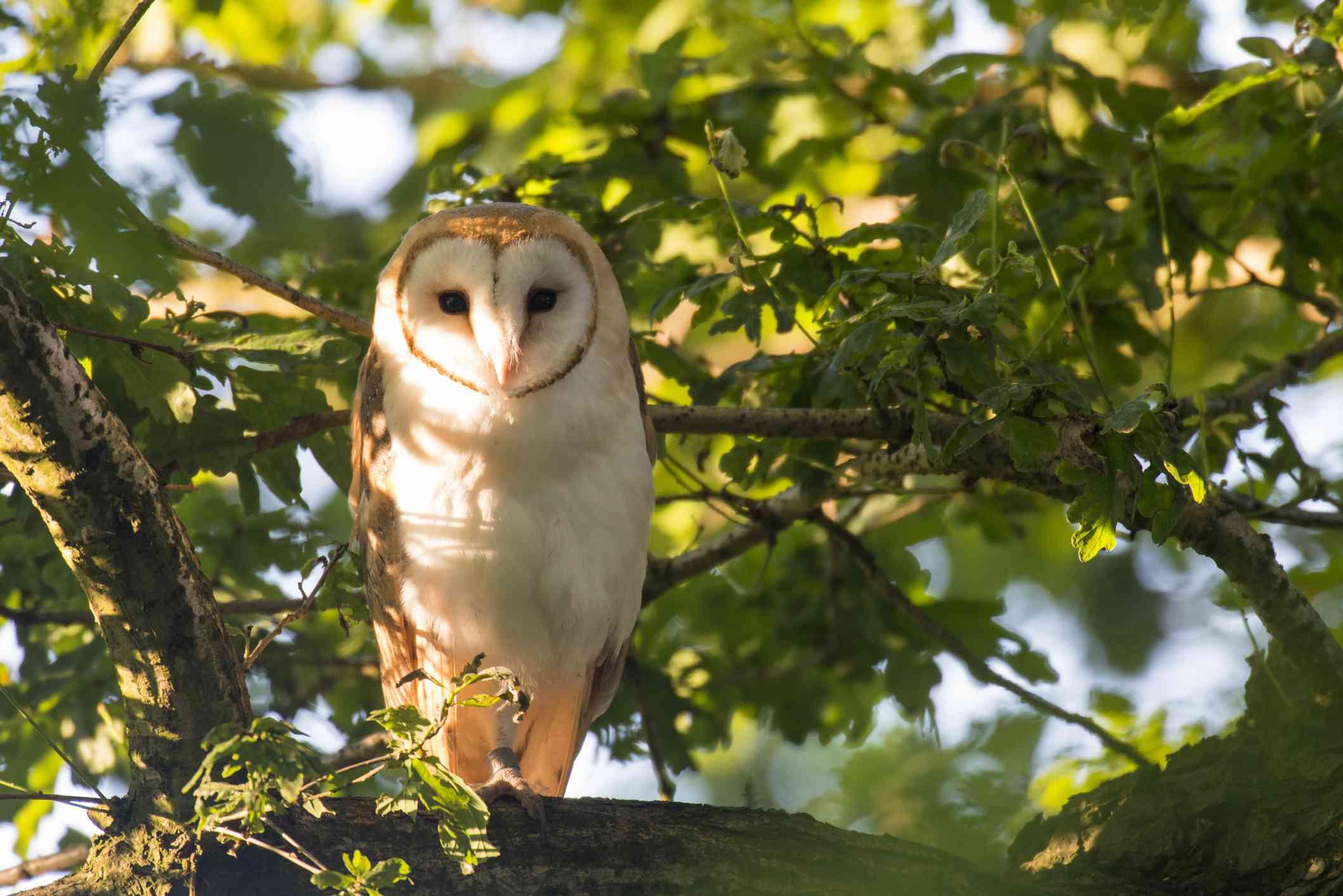 Barn owl in an oak tree