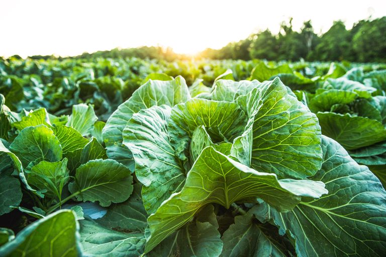 Farm field with organic cabbage