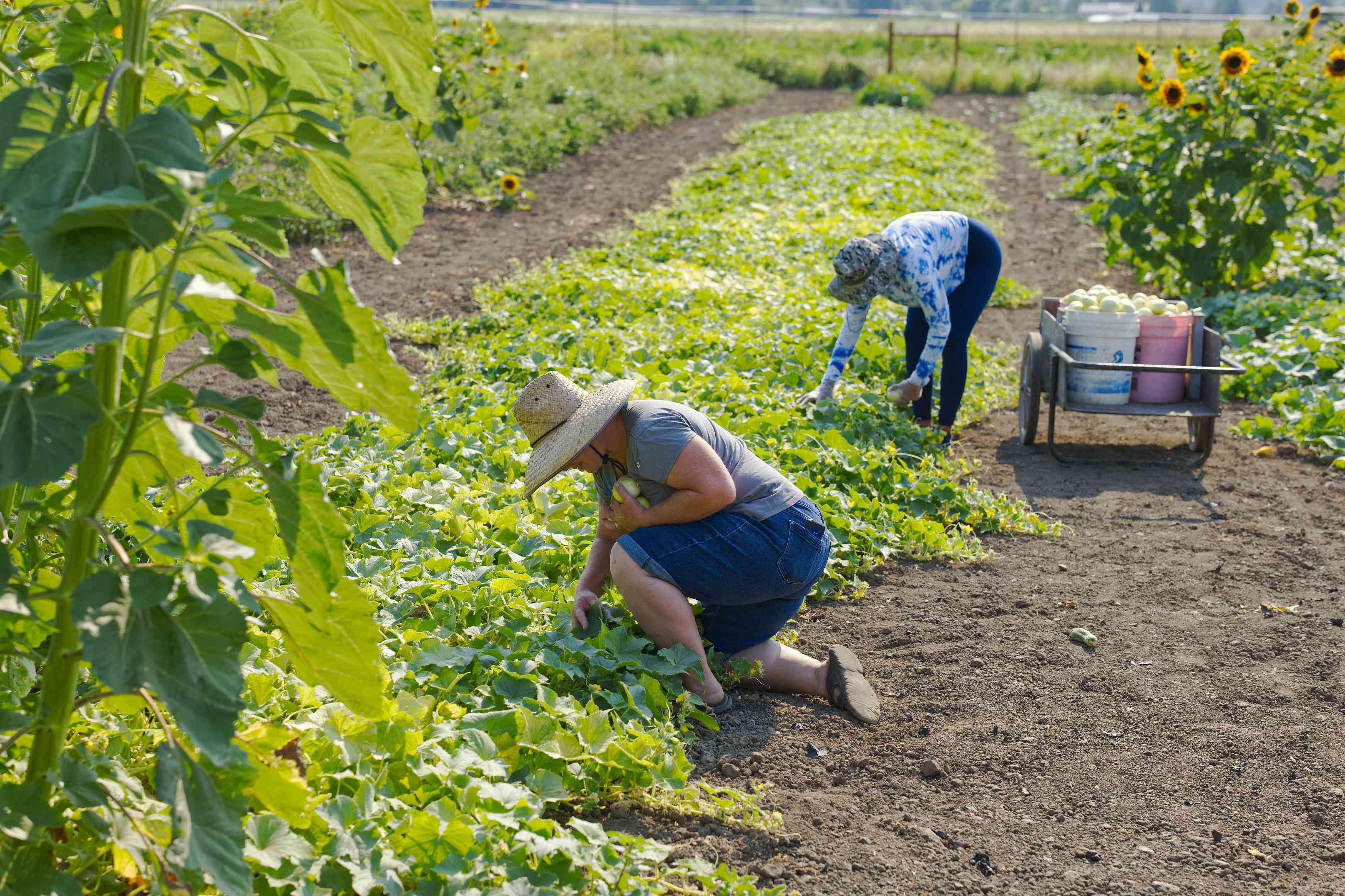 two women stoop over and hand pick vegetables on small commercial farm