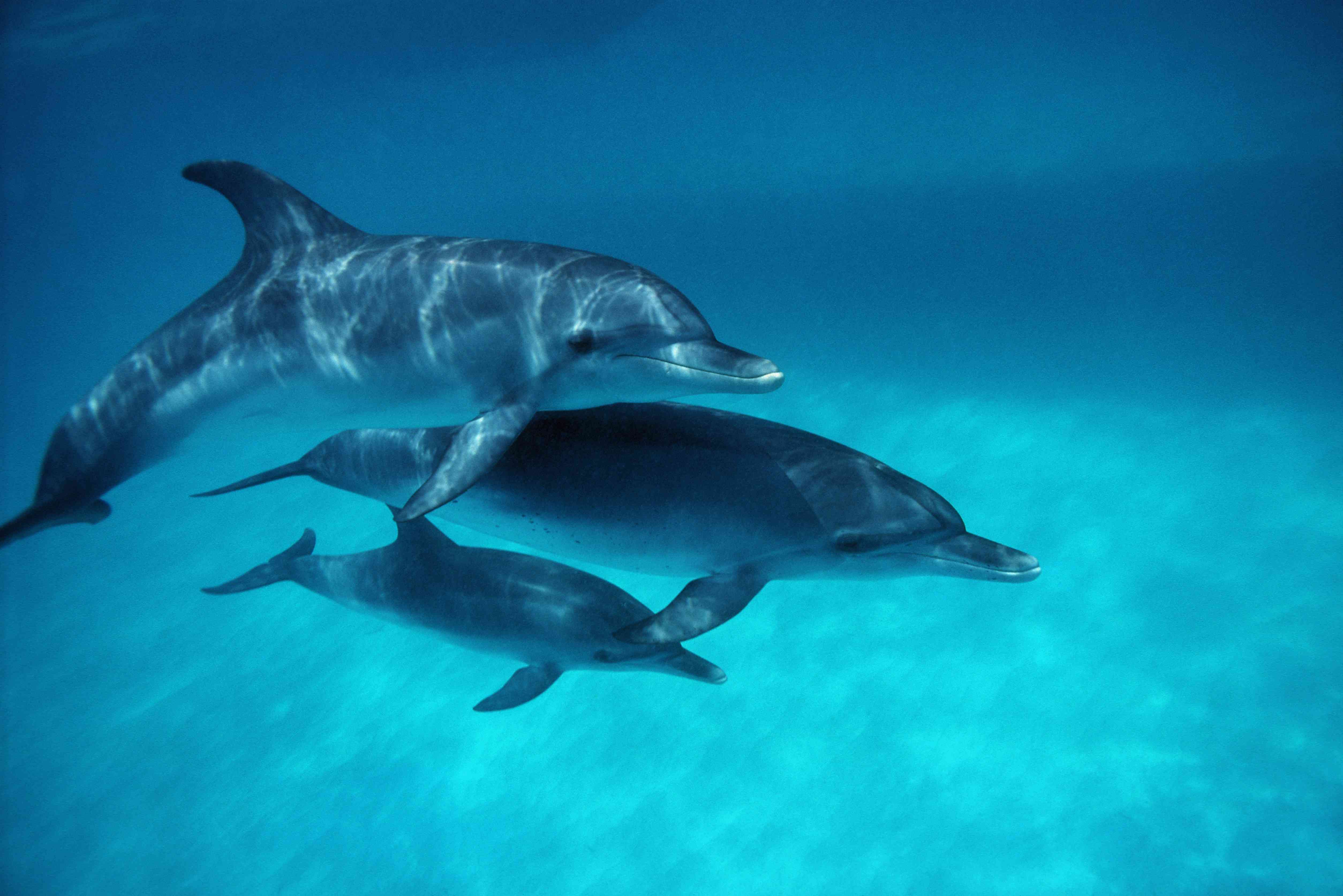 Atlantic spotted dolphins (Stenella frontalis) adults with juvenile