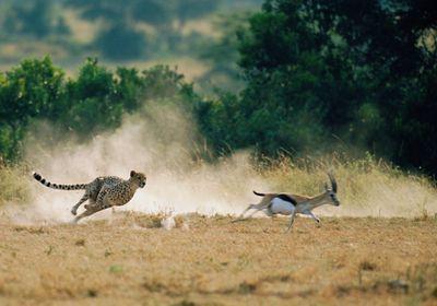 Cheetah chasing Thomson's gazelle (blurred motion)