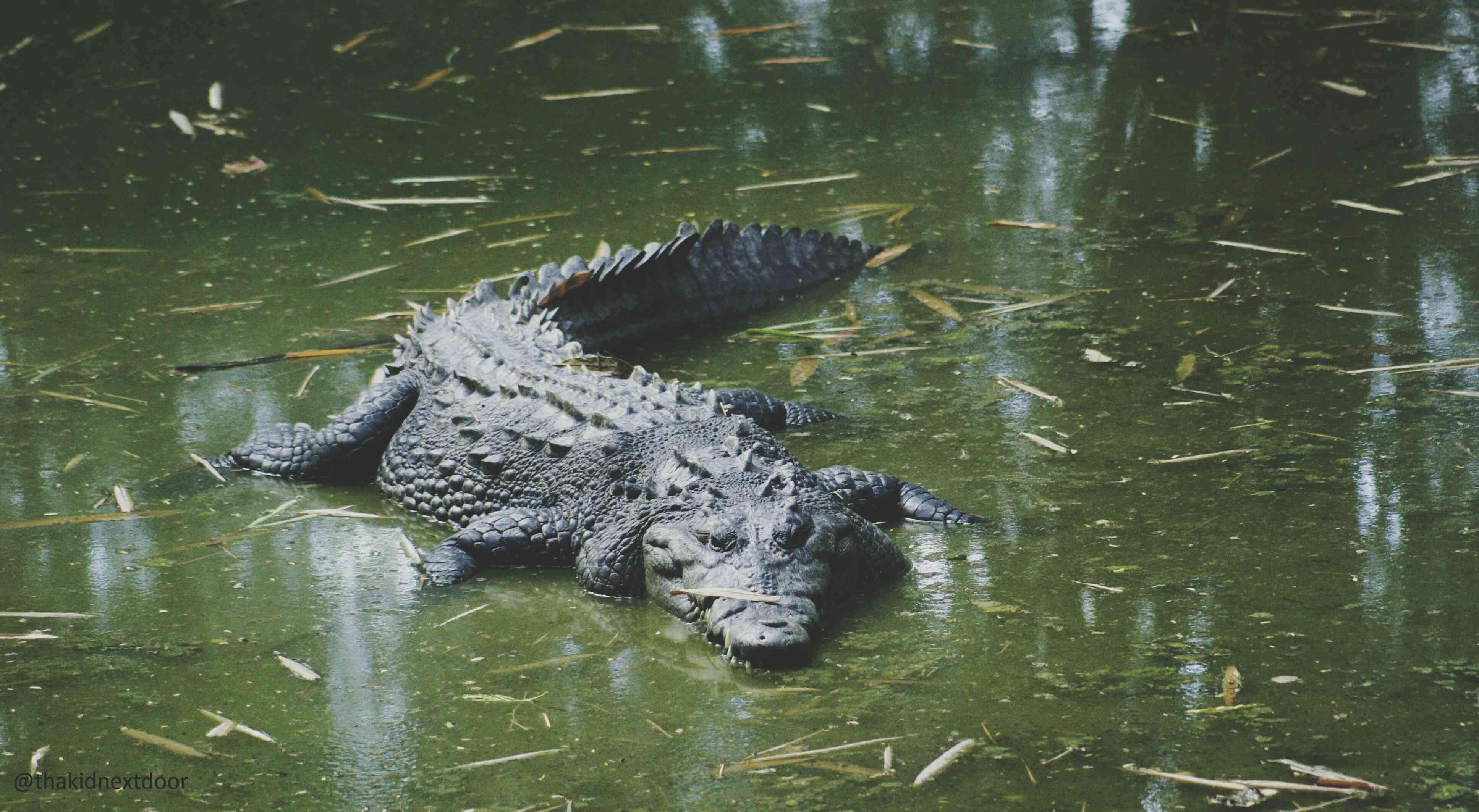 crocodile in a green swamp