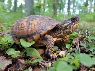eastern box turtle in the wild