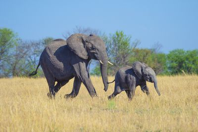 An African elephant mother and baby walking through straw-colored grass with a blue sky and green trees in the background
