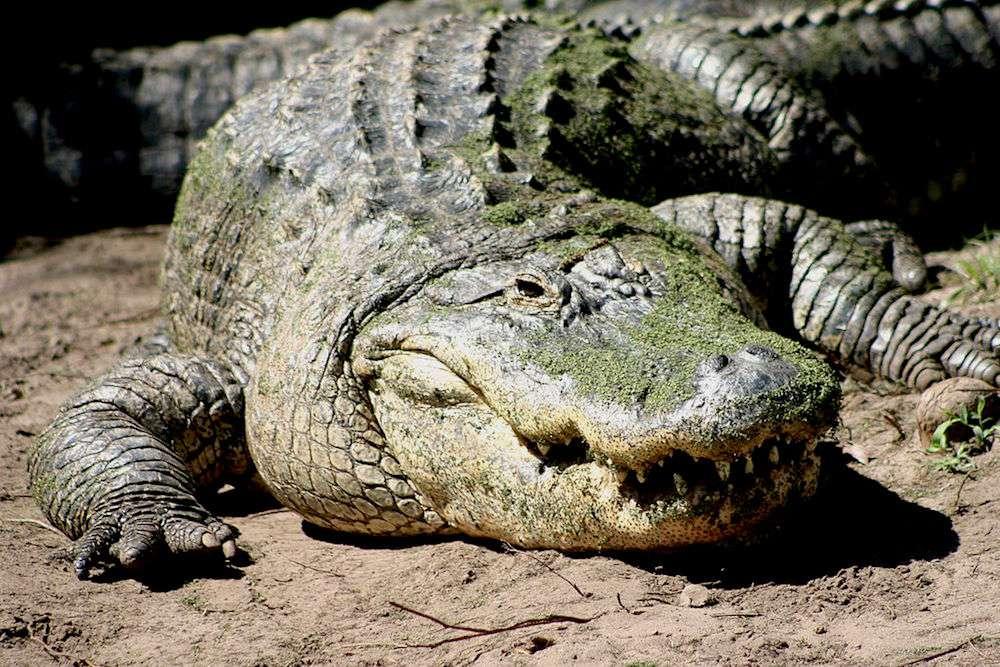 American alligator basking on the ground