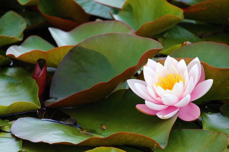 Single water lily bloom surrounded by leaves