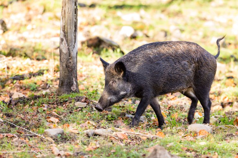 Por qué los cerdos salvajes son un 'accidente de tren ecológico' para Canadá