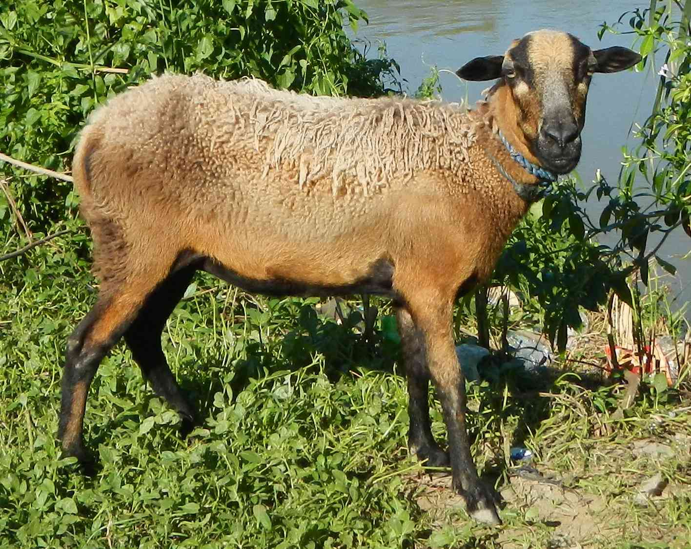 a sheep-goat hybrid with longish brown coat stares at camera
