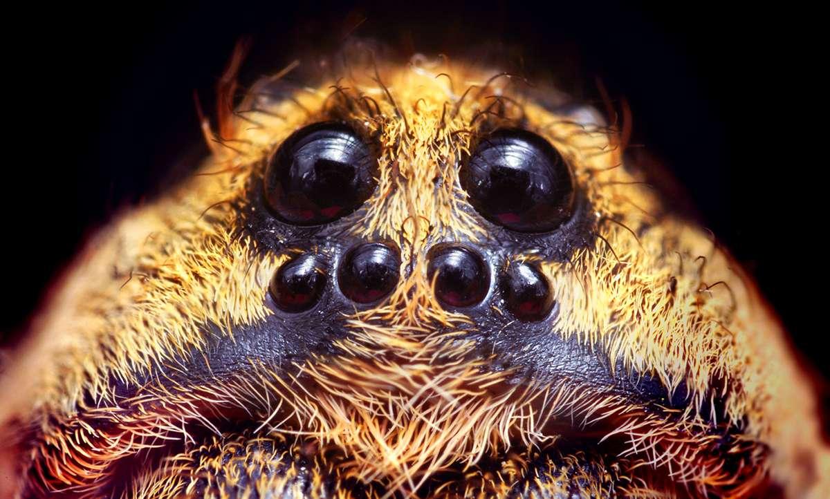 wolf spider closeup