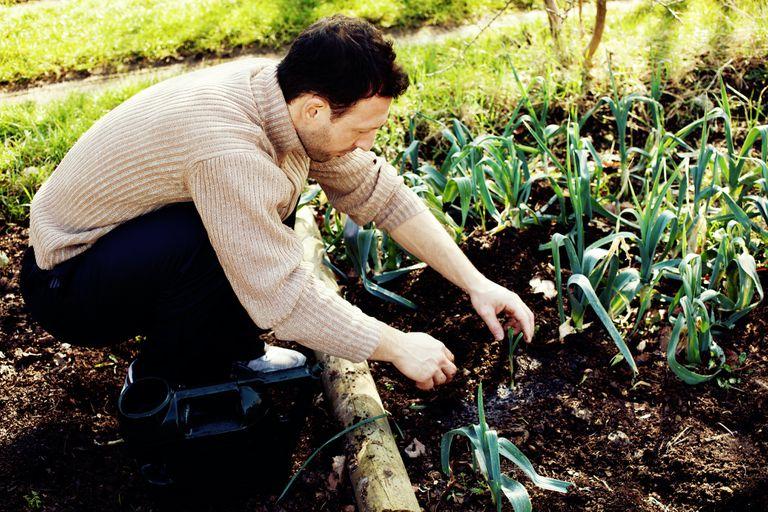 man harvesting leeks in February