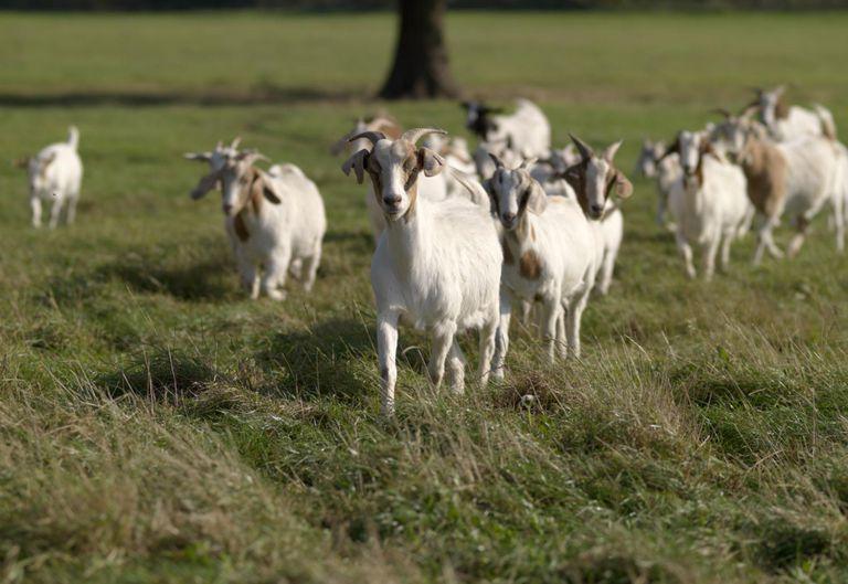 Goats on goat meat farm