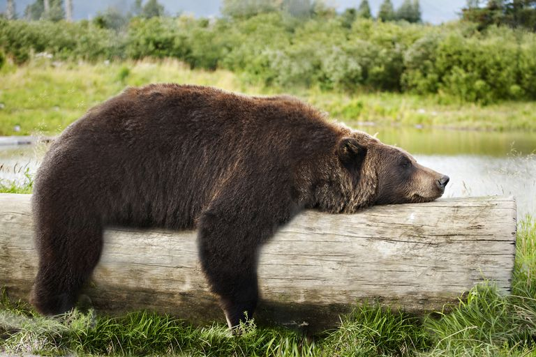 Bear sleeping on a log