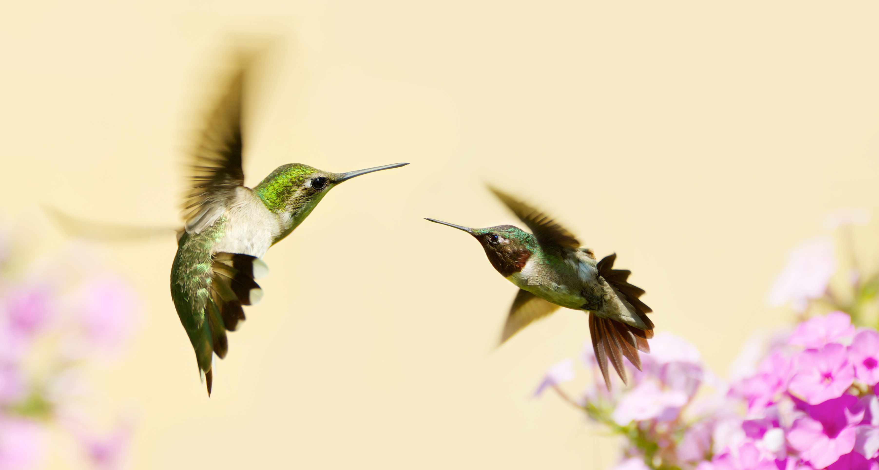 ruby-throated hummingbirds, Archilochus colubris