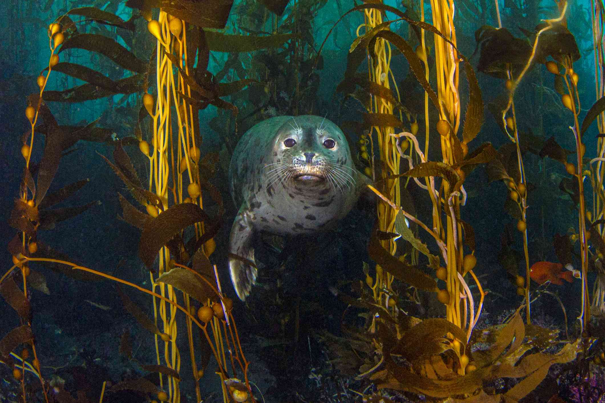 harbor seal underwater in a kelp forest off of Anacapa Island in California's Channel Islands