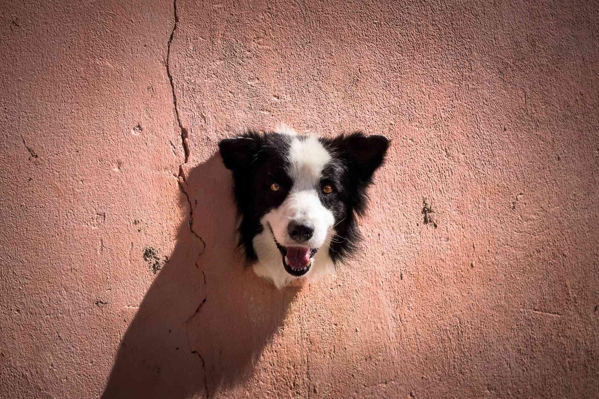 border collie smiling
