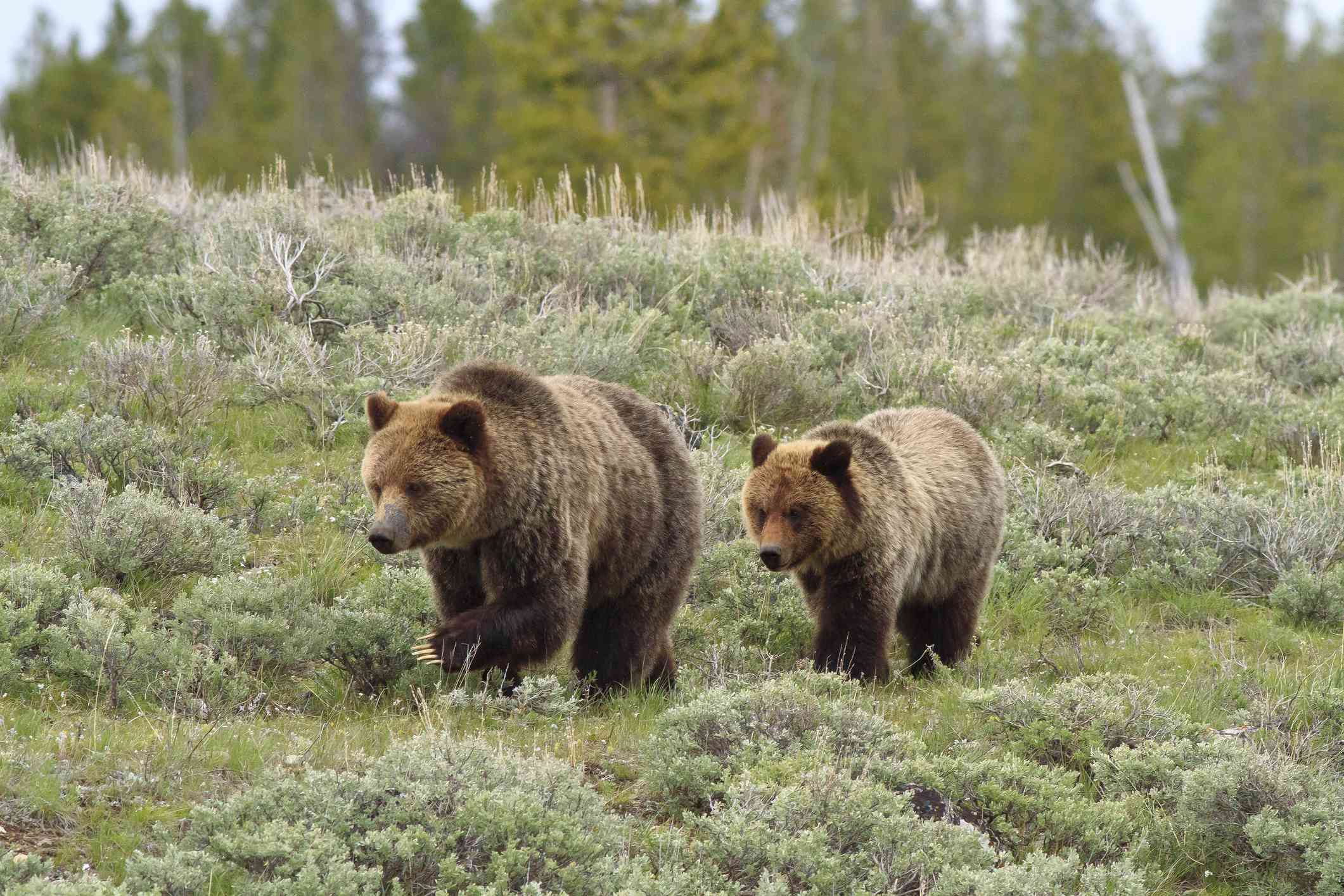 Grizzly bears are protected in Yellowstone under the Endangered Species Act