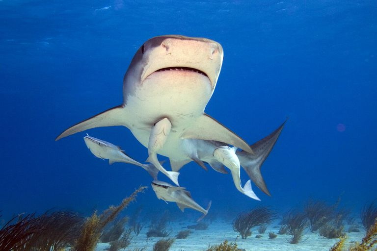 Shark swimming close to the ocean floor with 4 remora fish