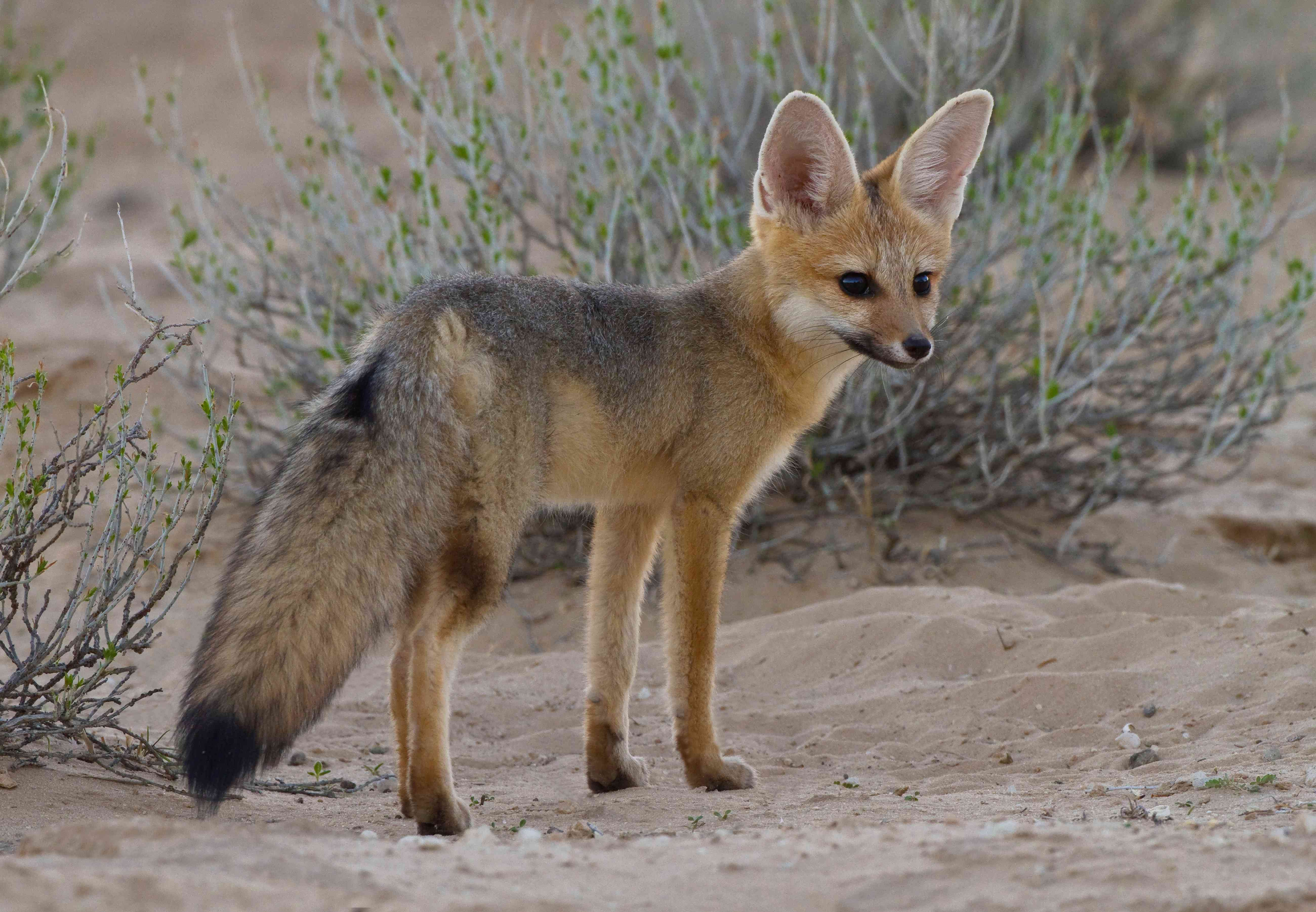 Cape fox in the sand in Kgalagadi Transfrontier Park, Africa