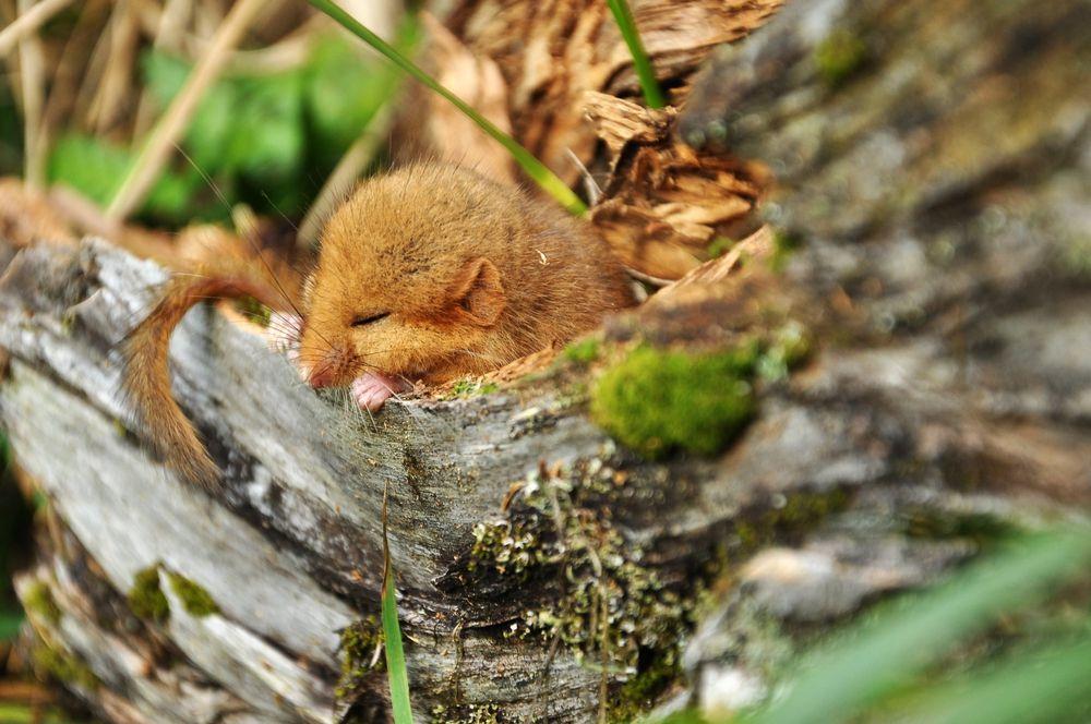 This dormouse found a cozy sleeping spot.