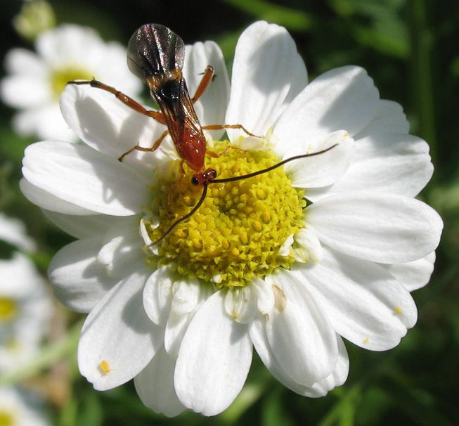 A parasitic wasp crawls along a flower