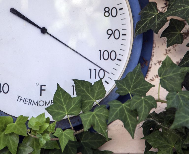 Thermometer surrounded by ivy and showing a temperature of 106 degrees fahrenheit