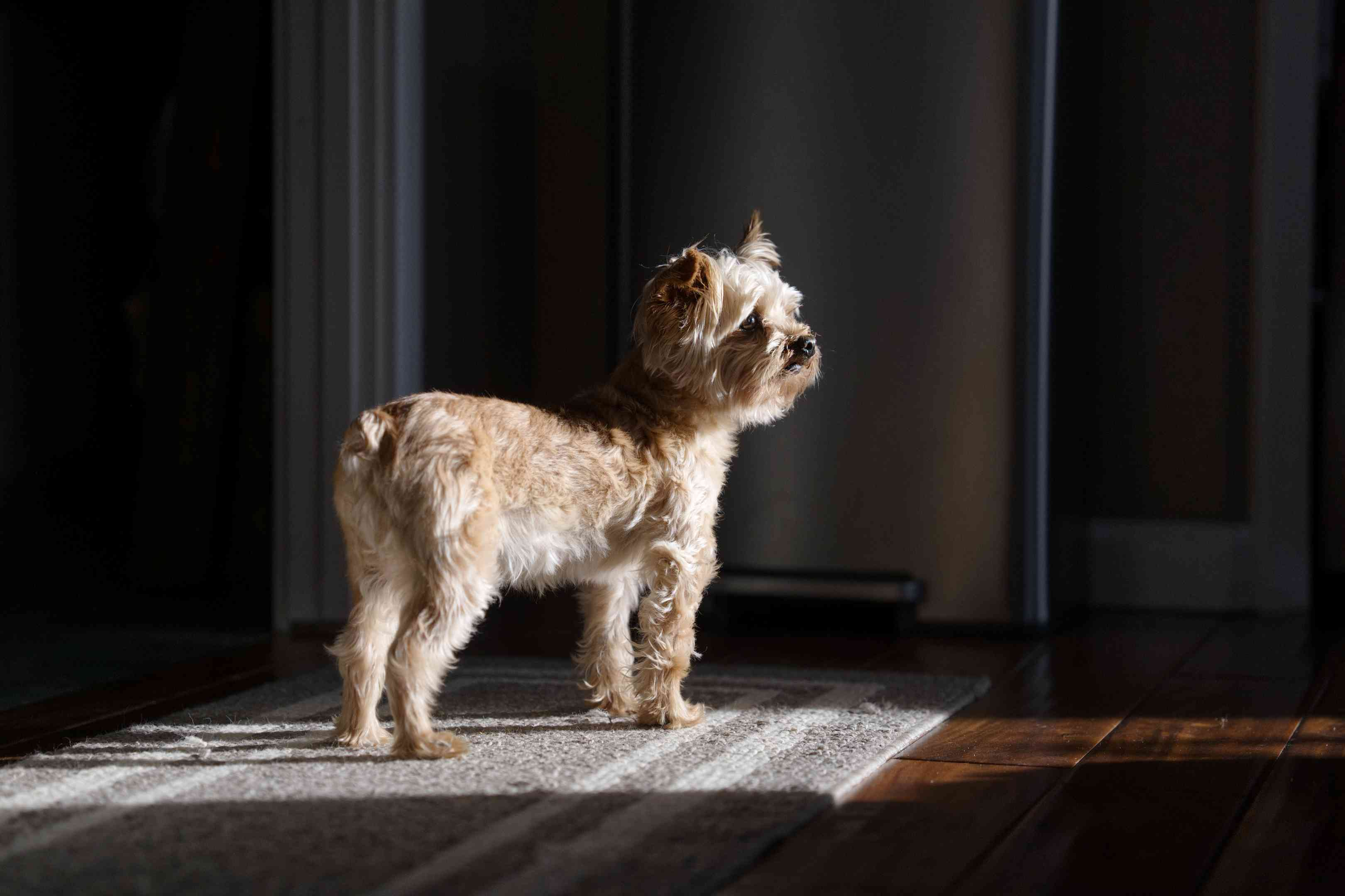 small terrier mix dog with docked tail stands in sunlight on gray rug