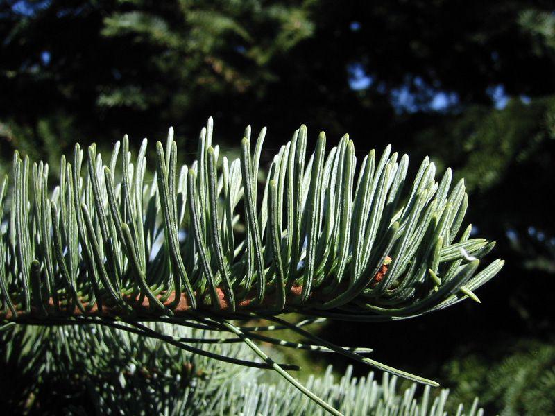 California red fir tree branch