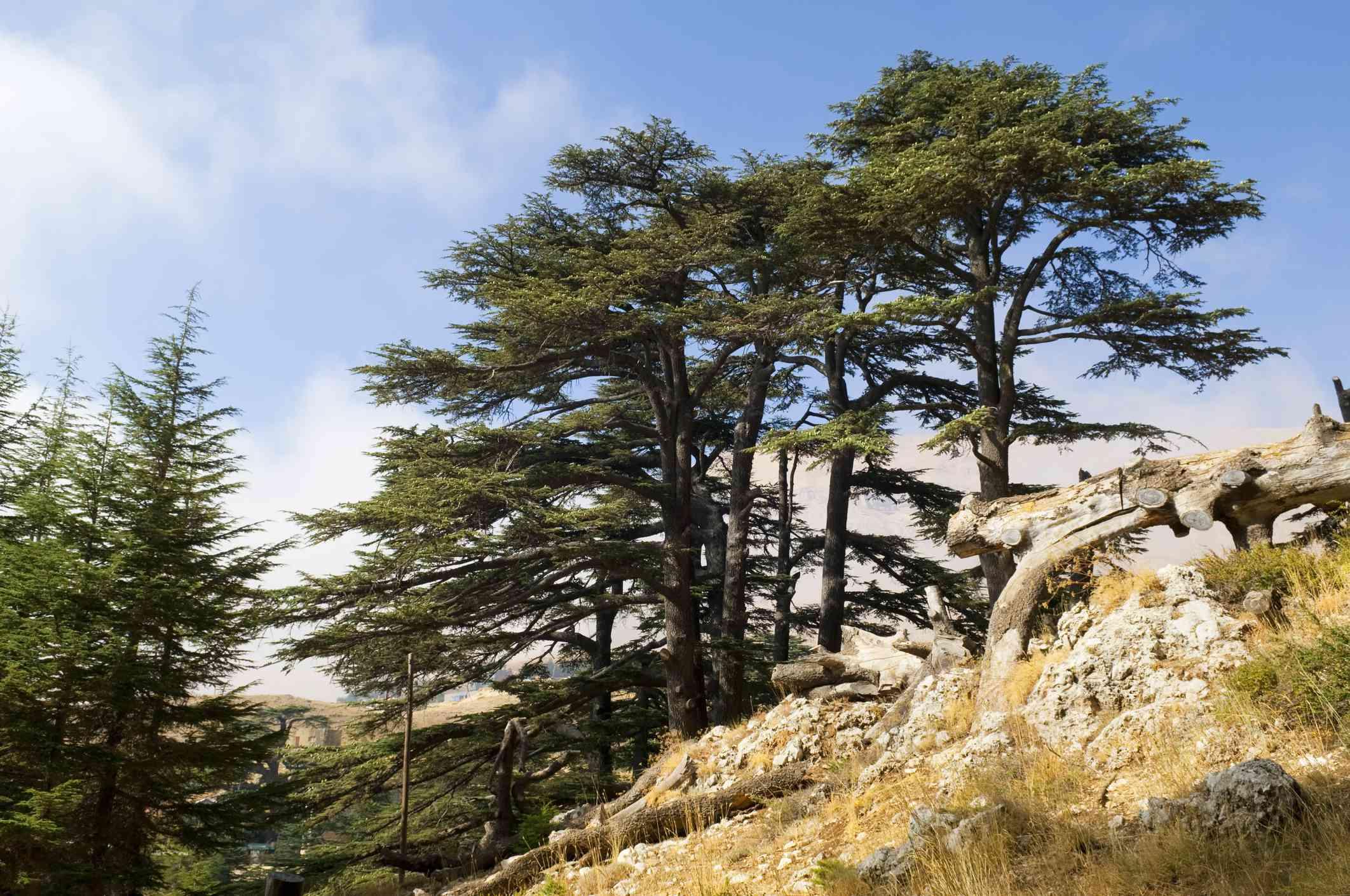 Old growth cedar forest in Lebanon.