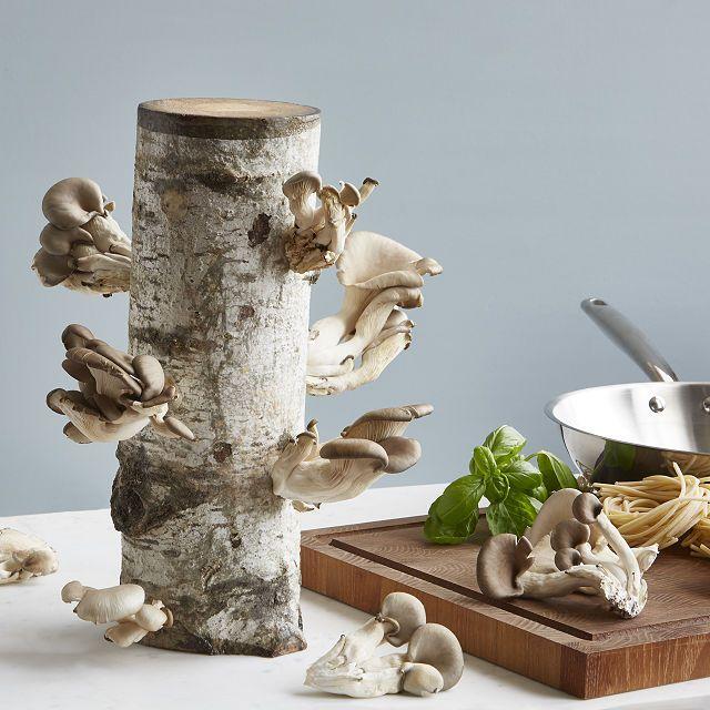 Uncommon Goods Oyster Mushroom Log Kit