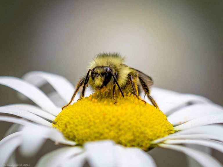 A bee sitting on a daisy