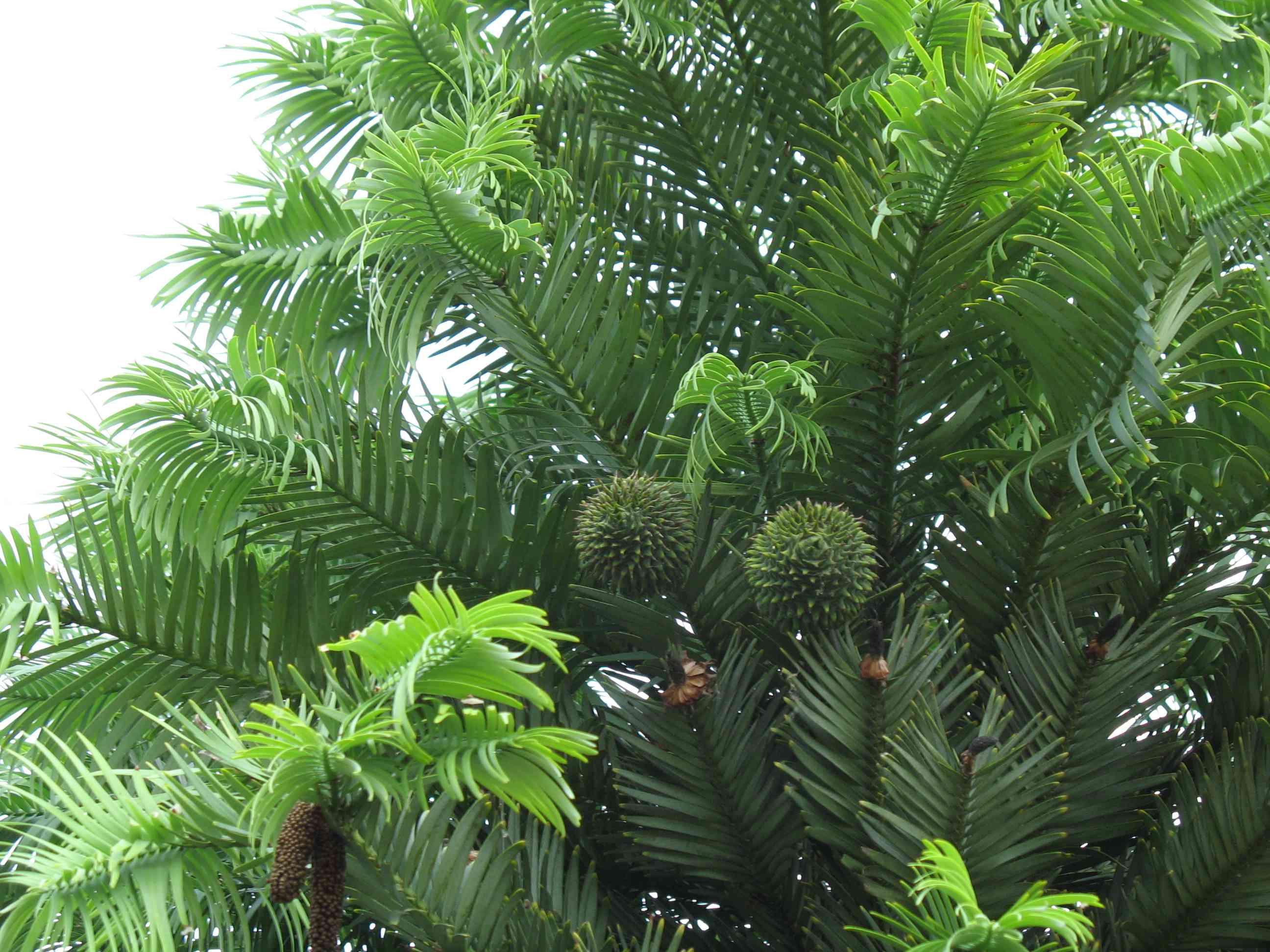 Wollemia nobilis tree