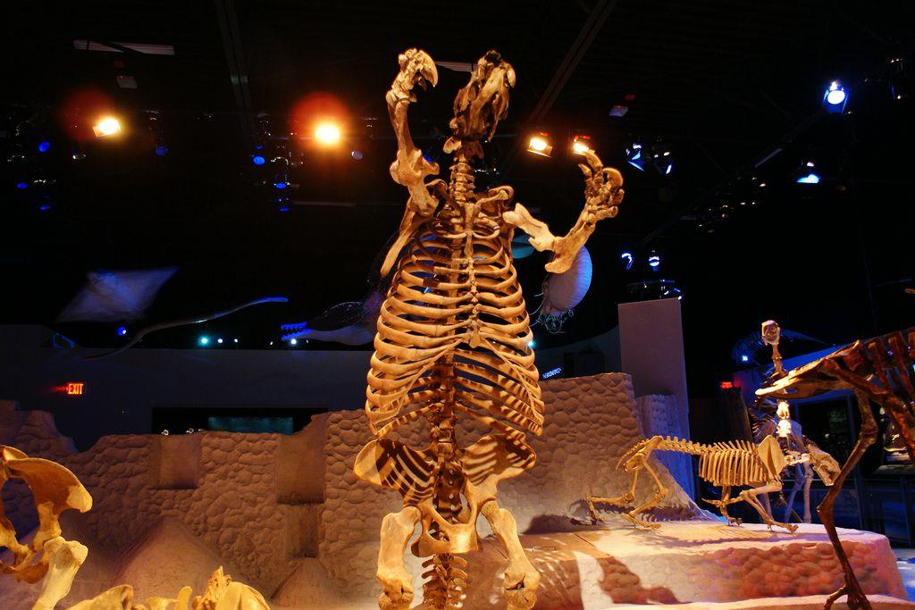Ground sloth skeleton