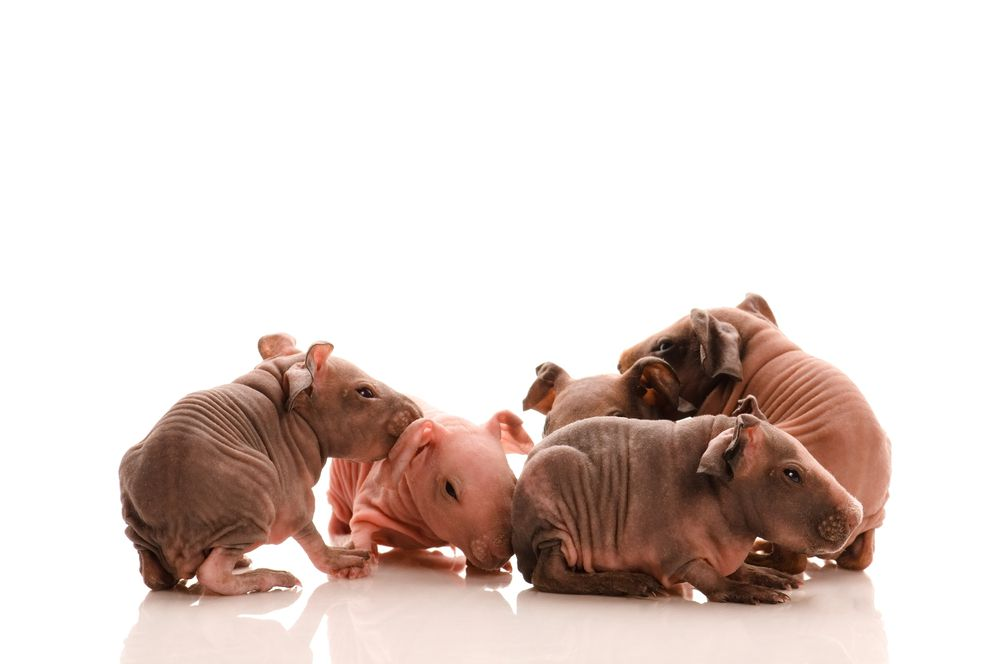 Skinny Pigs are a breed that originated as a cross between haired guinea pigs and a strain of hairless strain started in a laboratory.