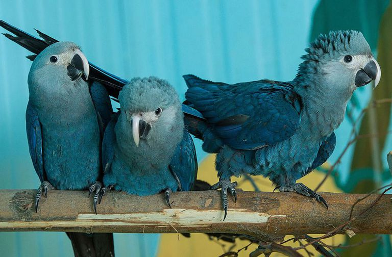 Three Spix's Macaws on branch in captivity