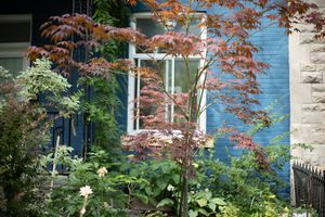 small Japanese maple tree grows outside blue brick house with vines