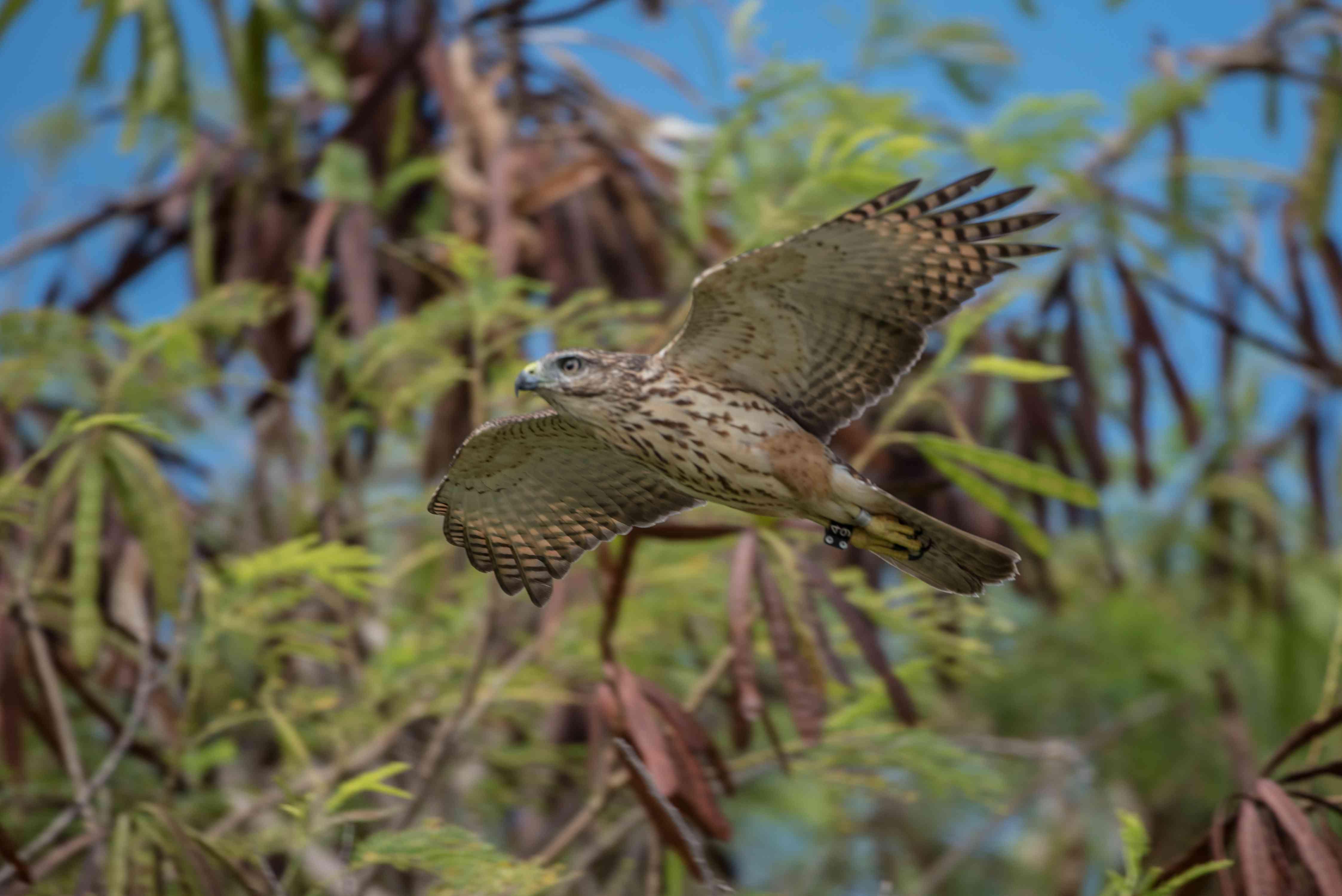 Ridgway's hawk in Punta Cana