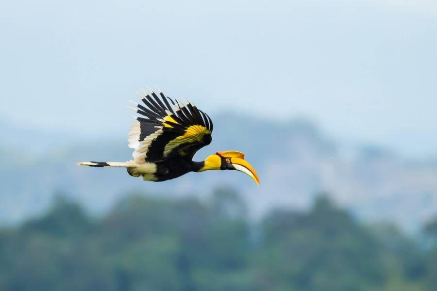 great hornbil in flight