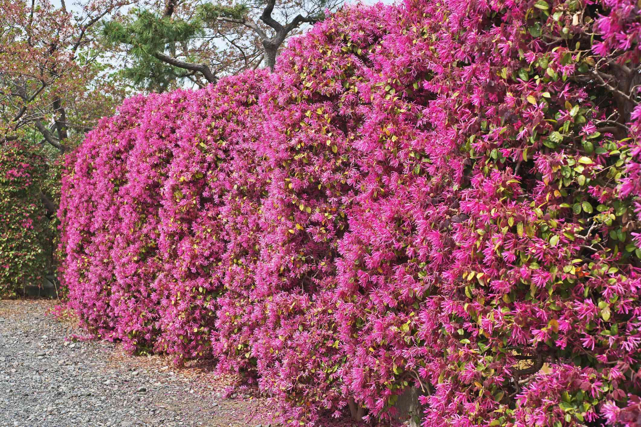 Loropetalum hedge in Japan
