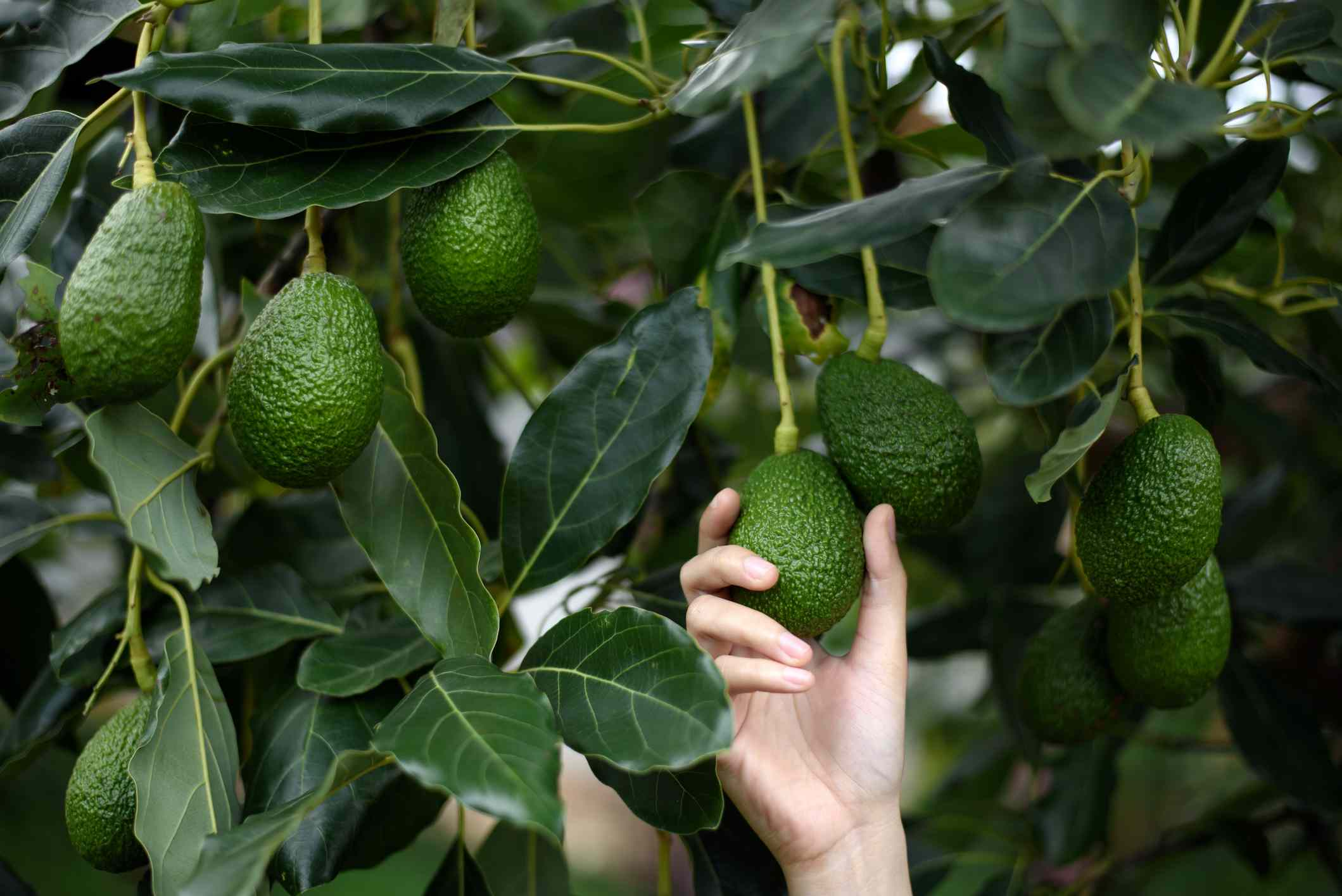 A white hand picking an avocado off a tree.