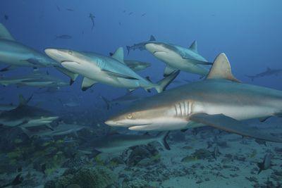 Grey reef sharks swimming in the ocean