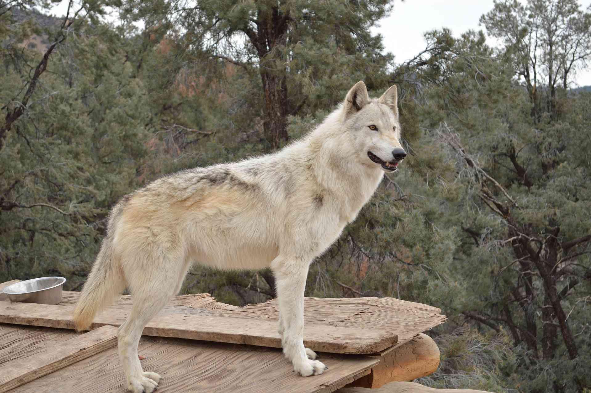 Rescued wolfdog at LARC