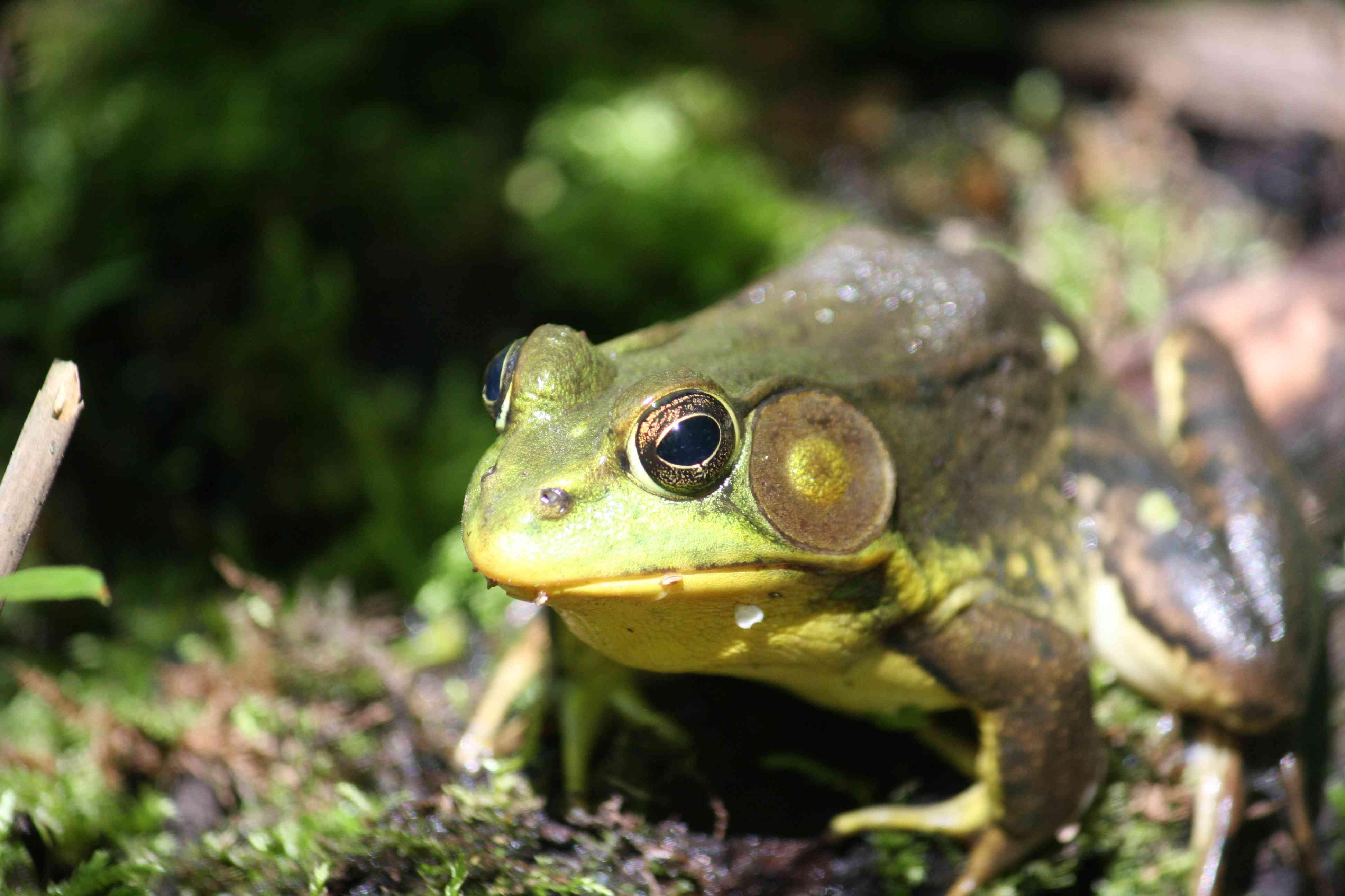 Bullfrog (Lithobates catesbeinus) Close up