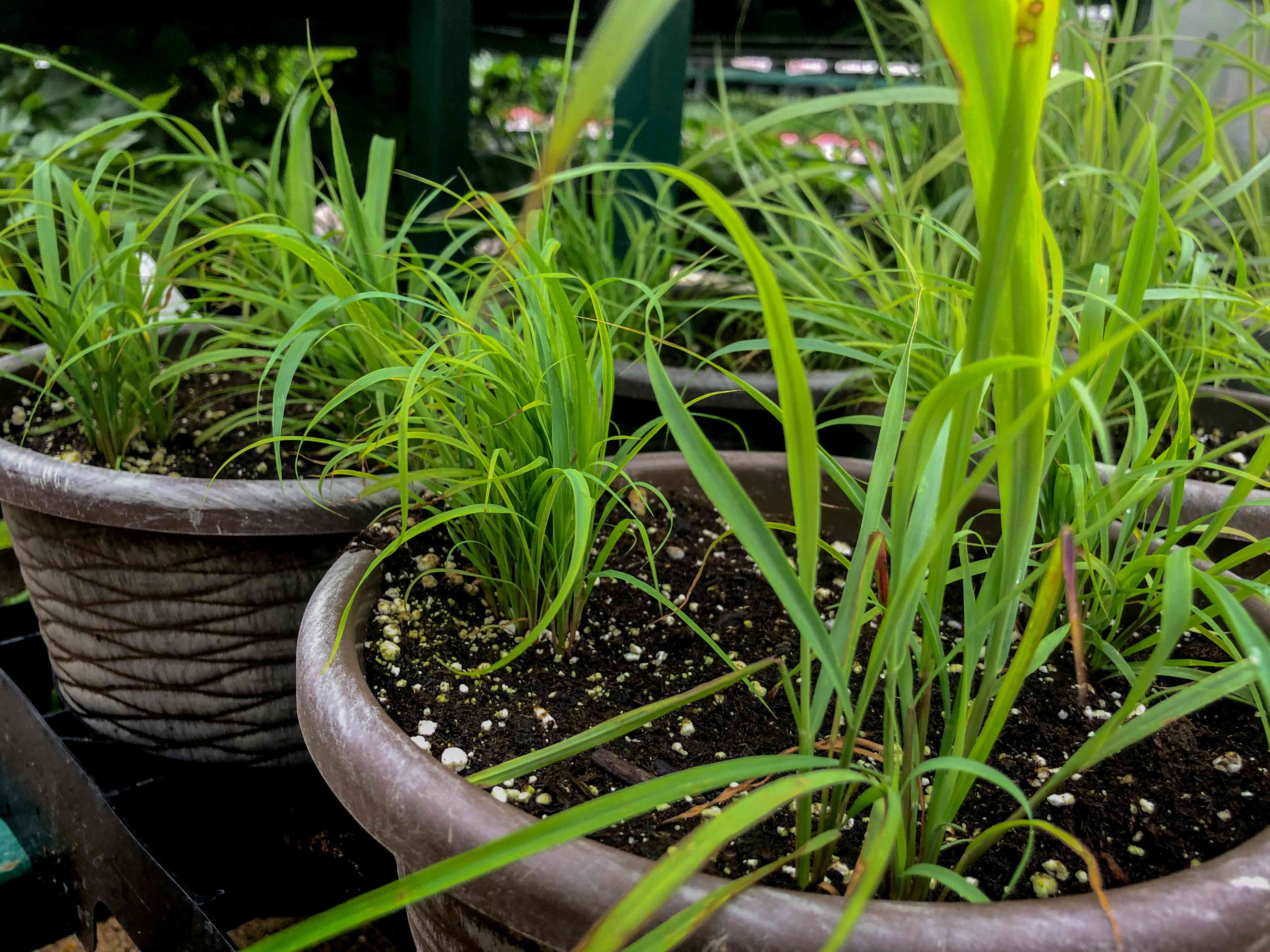 two large textured containers filled with lemongrass plants outside