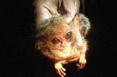 pygmy tarsier with big eyes hanging in dark