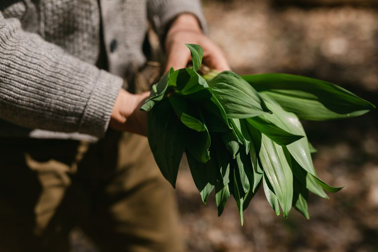 White hands holding foraged wild onions.