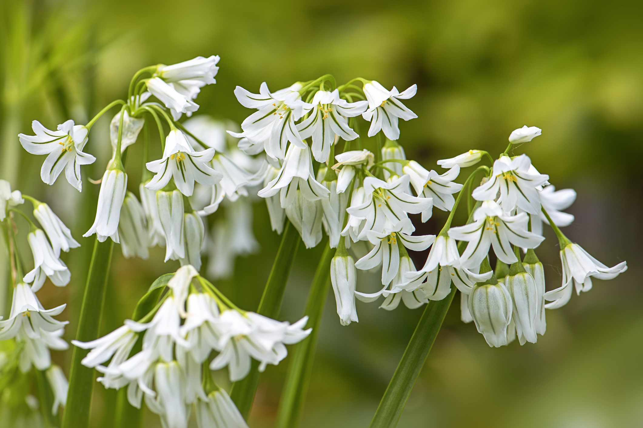 Delicate white flowers hanging from a green wild onion plant