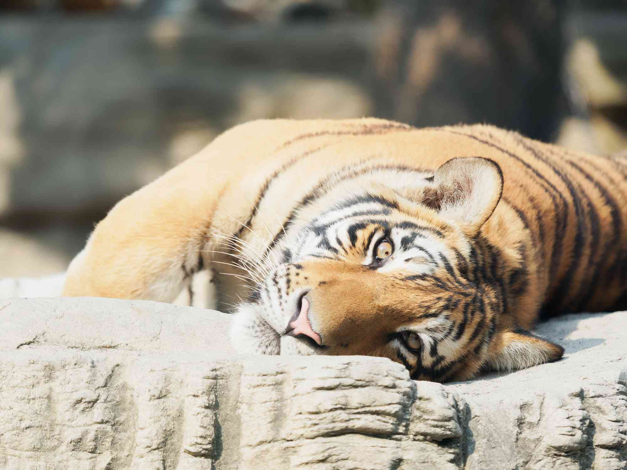 An adult South China tiger