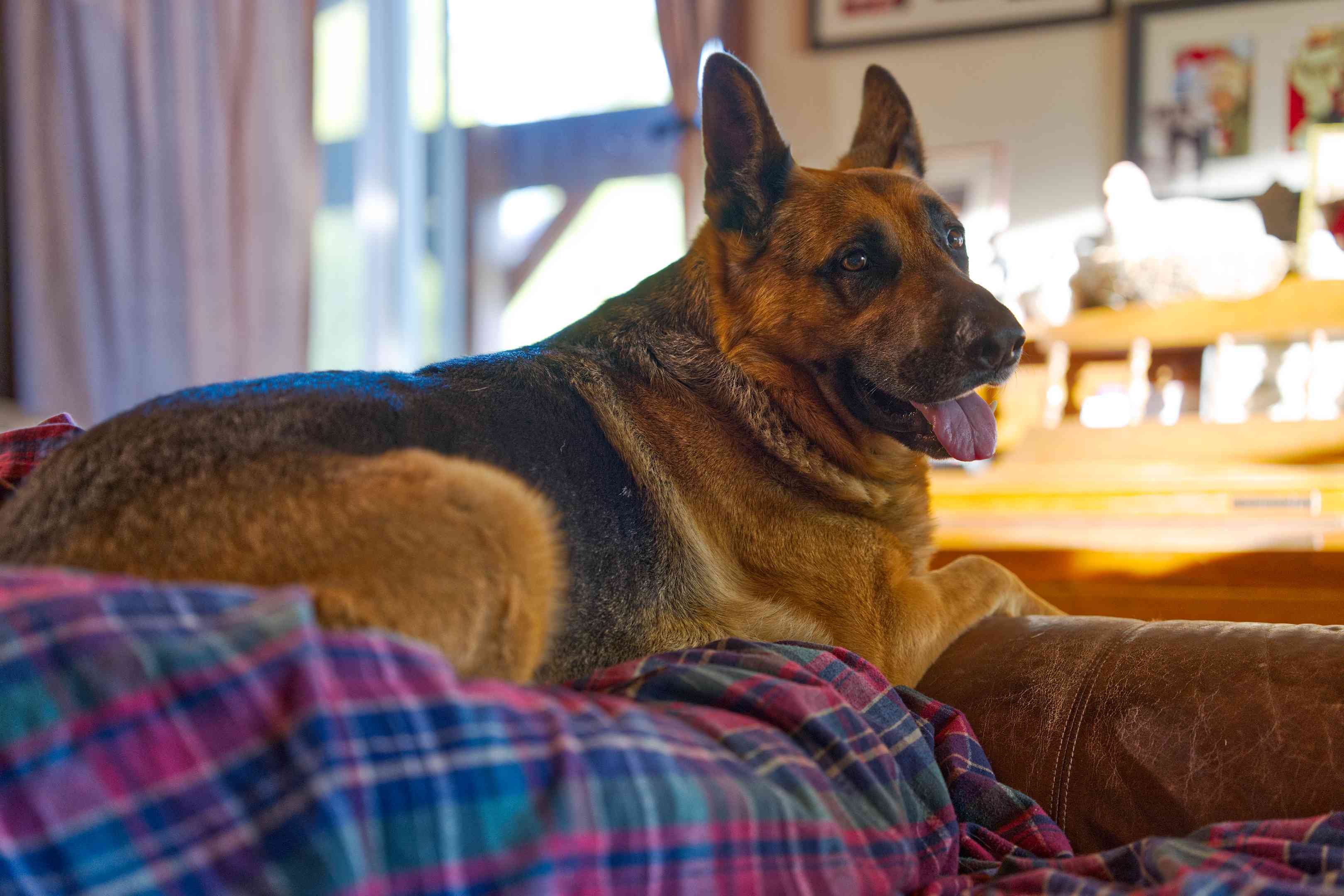 smiling German Shepherd dog sits on top of brown leather couch with plaid blanket