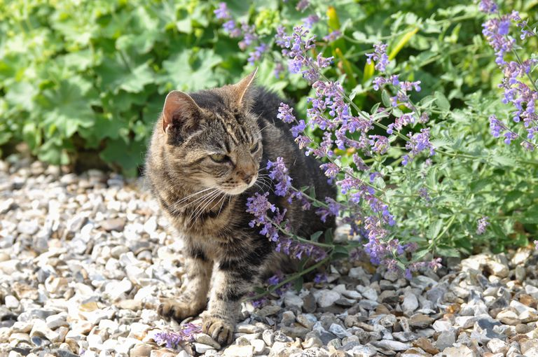 tabby cat standing on rocks outdoors next to a blooming catnip plant
